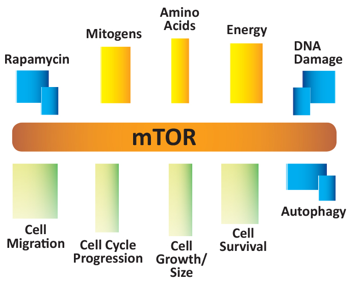 Mechanism of action through partial inhibition of mTOR